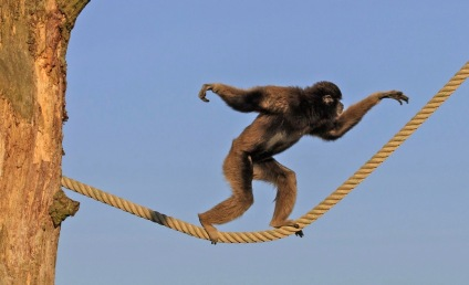Monkey walking across a rope